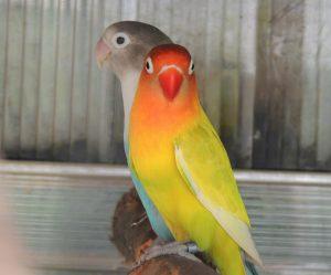 two lovebirds on perch