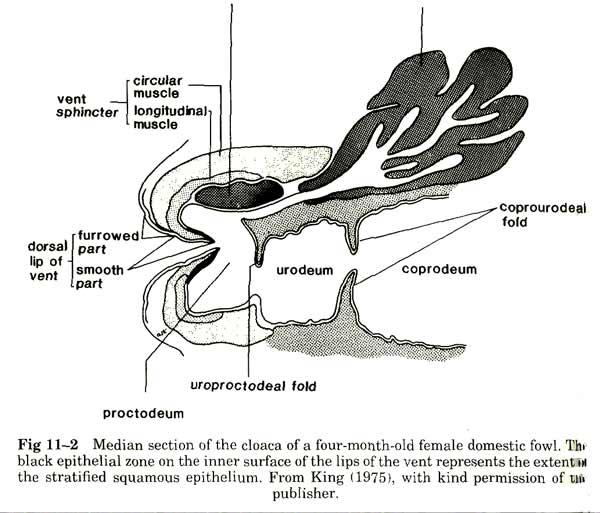 cloaca of fowl