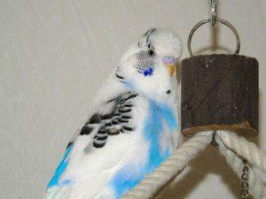 budgie parakeet on perch