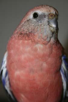 Red Parakeet
