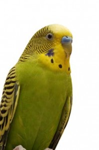 Budgie Vs  Cockatiel — Which Is Right For You? – Pet Birds by