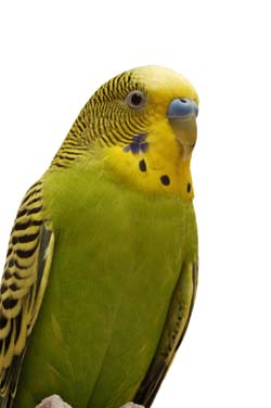 Perks Of Owning A Pet Parakeet – Pet Birds by Lafeber Co
