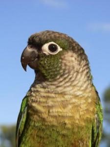 Green-cheeked conure