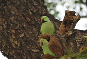 Photo of two Indian Ringnecked Parakeets