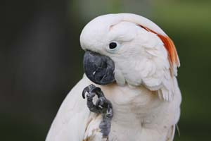Photo of Moluccan Cockatoo