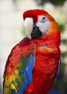 Photo of the Scarlet Macaw