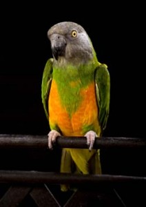 Photo of the Senegal Parrot
