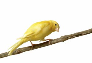 A yellow Song Canary