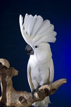 Photo of White Umbrella Cockatoo