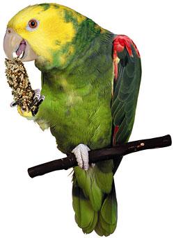 Photo of the Yellow-Headed Amazon