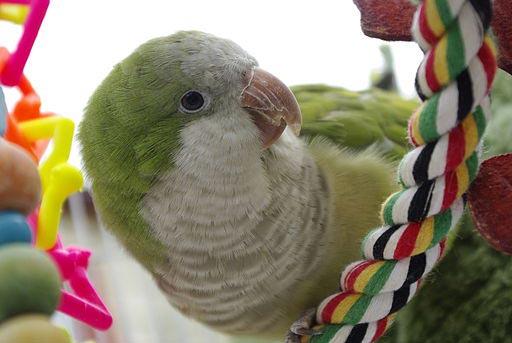 quaker parrot; quaker parakeet