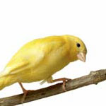 Song canary