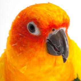 Sun Conure Personality, Food & Care – Pet Birds by Lafeber Co
