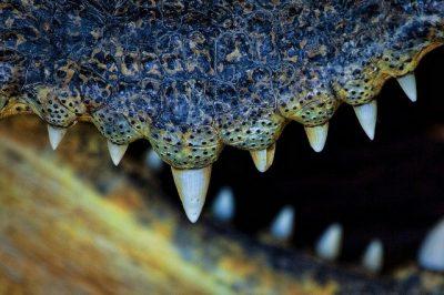 Photo rapprochée des dents coniques non différenciées du crocodile du Siam