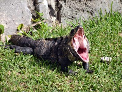 Les lézards ont une grande ouverture buccale cependant ils ne peuvent pas ouvrir leur gueule autant que les serpents