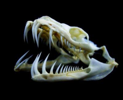 La plupart des serpents possèdent des dents longues, fines et recourbées