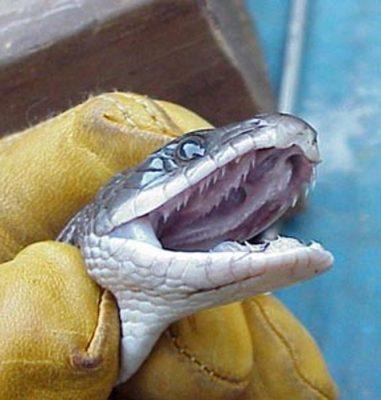 Les serpents ont une deuxième rangée de dents supérieures, sur les os palatin et ptéygoïde
