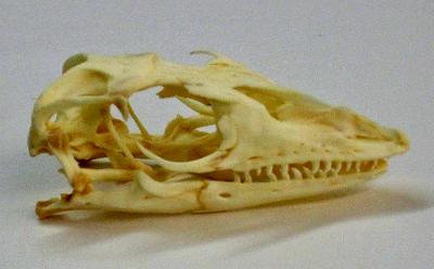Vue latérale du crâne d'un varan du Pacifique illustrant la forme conique des dents