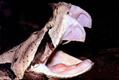 Fangs in a solenoglyph, the Gaboon viper
