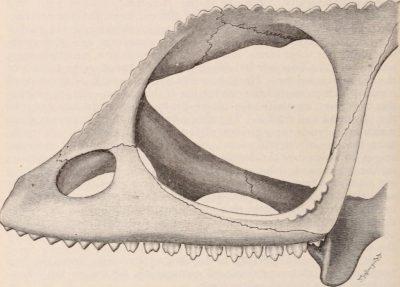 Les dents de la famille Chamaeleonidae sont identiques à celles des agamidés. Elles sont triangulaires et acrodontes. Cependant, les caméléons n'ont pas de dents pleurodontes rostralement.