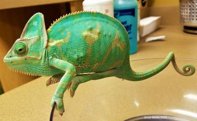 Veiled chameleon distended coelom Mede