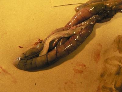 Le pancréas se situe au sein de l'anse duodénale en forme de U, ici chez une chouette rayée