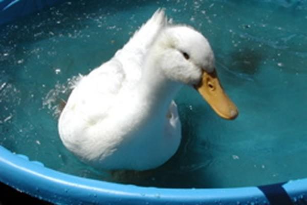 03-pekin-duck
