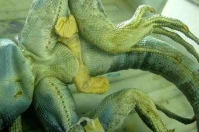 iguana hemipenes