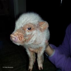 Sarcoptic mange in a miniature pig. Photo: Dr. K. Mozzachio