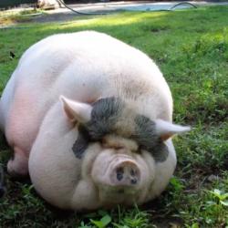 obese pig Mozzachio