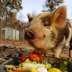pig smiling w dinner Mozzachio