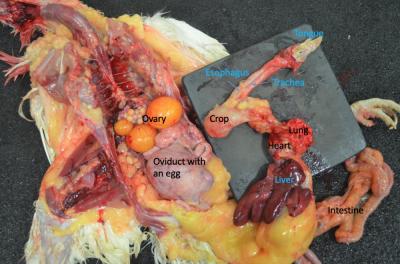 Organs in situ