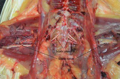 Sciatic plexus and sciatic nerve in a chicken.