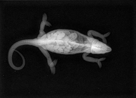 Chameleon X-ray