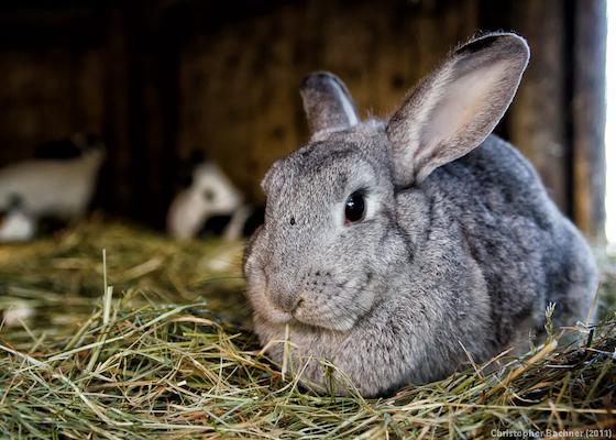 rabbit hay Christine Ba