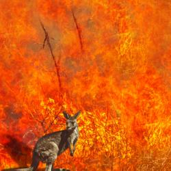 macropod in wildfire iStock