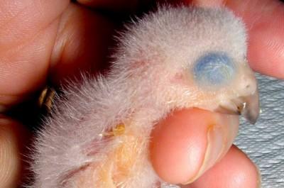 Grey chick