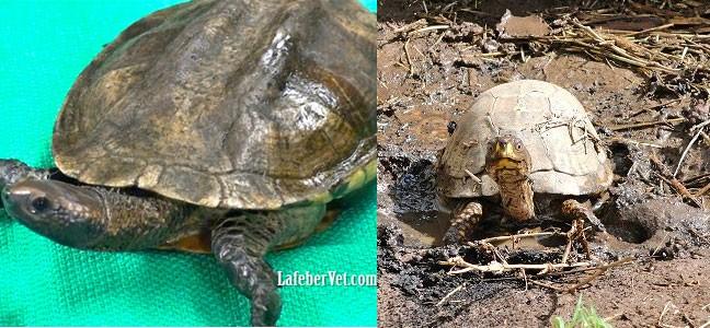 Les tortues aquatiques ont tendance à posséder des carapaces peu bombées, relativement larges (à gauche), tandis que les espèces terrestres ont des carapaces plus hautes et en forme de dôme