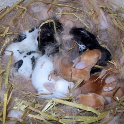 La hembra entreteje los pelos arrancados con heno y paja para crear su nido
