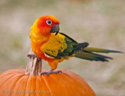 conure on pumpkin Pancier