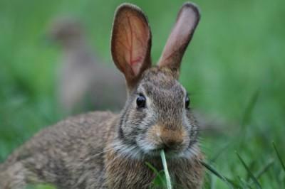 La tularemia se puede transmitir a los seres humanos durante la manipulación de conejos infectados y otros posibles reservorios