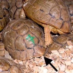 Egyptian tortoise carapce