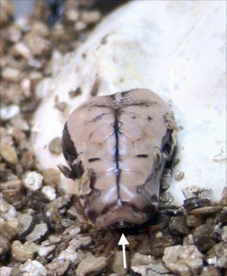 egg tooth python Dawson