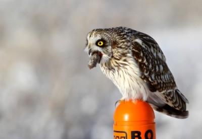 short-eared owl Ornithologi
