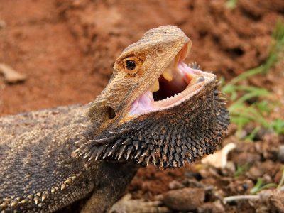 Like many lizards, bearded dragon teeth are a simple, uniform cone shape