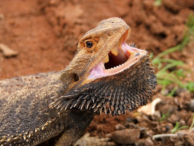 Understanding Reptile Dental Anatomy Clinical Applications Lafebervet