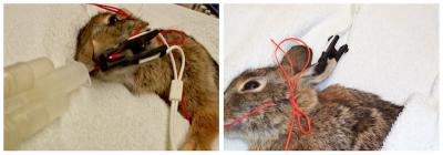 rabbit pulse ox