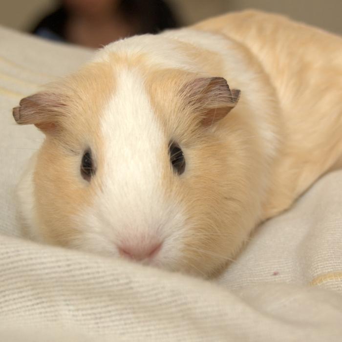 Care of the Pet Guinea Pig | LafeberVet