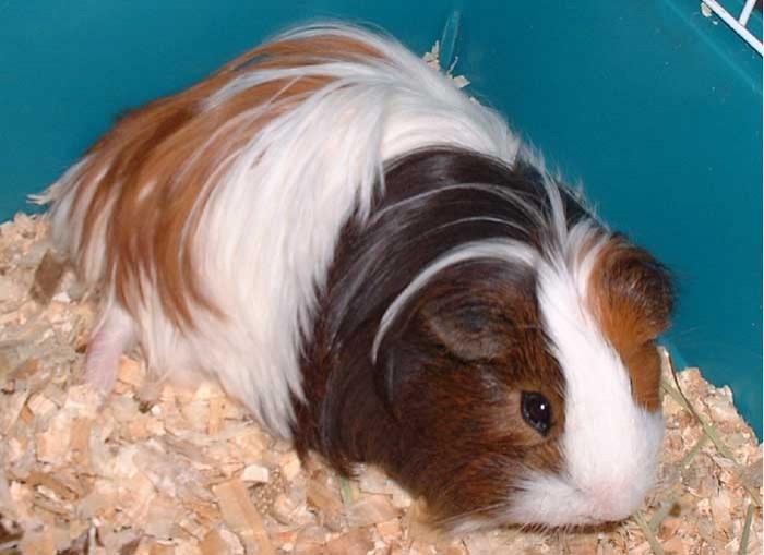 Guinea Pig Breeds Lafebervet