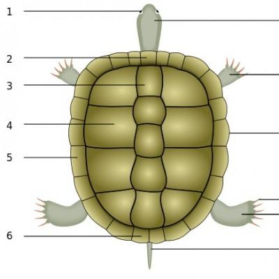 Hermann's tortoise physical description